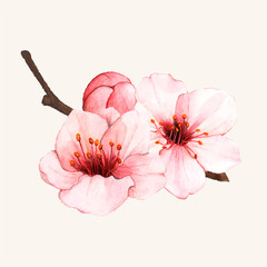 Hand drawn cherry blossom flower isolated