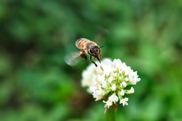 Honey Bee Flying Around White Clover Flower
