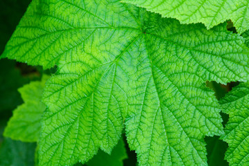 Close-up of currant leaf, macro of green leaf in the garden