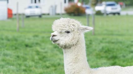 White funny Lama alpaca in New Zealand