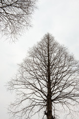 Winter upholstery shot of the branches of the metasequoia