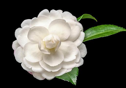 White camelia flower on black background