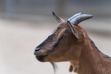 Kopf einer Ziege mit Blick nach links