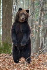 Wall Mural - Bear standing on his hind legs in the autumn forest
