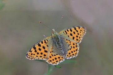 Butterfly Queen of Spain fritillary sitting on the thistle . Issoria lathonia