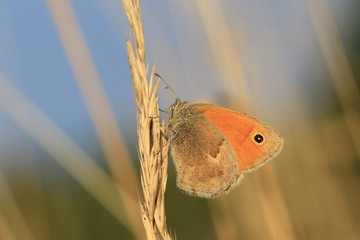 Butterfly Small heath on brown background. (Coenonympha pamphilus) Beautiful butterfly in the sunset. Widlife scene from nature.