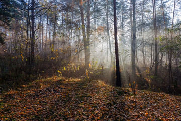 Fragment of autumn forest with sun beams in fog