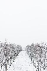 verschneite Weinreben Winterlandschaft