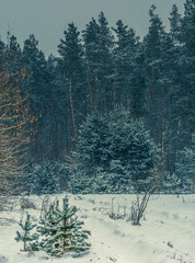 Winter forests