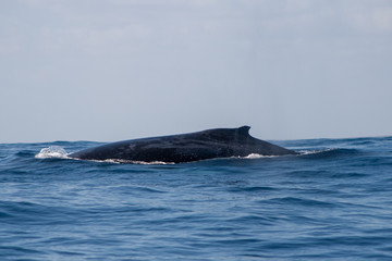 Humpback Whale with dorsal fin breaking the surface, Coral Bay, Western Australia