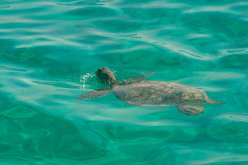 Fotobehang Schildpad Green sea turtle swimming in ocean with head just above water surface, Coral Bay, Western Australia, Australia