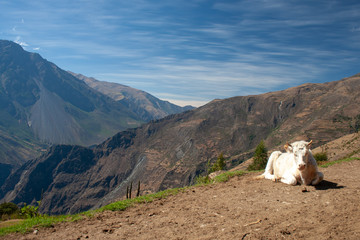 White cow resting on mountain side in Andes, Choquoquirao trek, Peru, South America