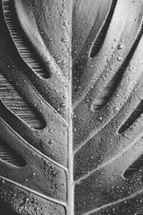 Beautiful bright black and white picture of Monstera deliciosa leaf( also known as Swiss cheese plant) with water drops indoors, contrast light, dark brown wooden background. Copy space.