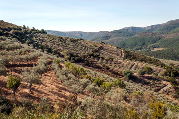 Olive trees in the fields of Extremadura