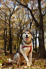 beautiful purebred dog - siberian husky sits on a background of autumn forest