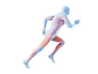 3d rendered illustration of a joggers muscles
