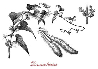 Vintage botanical engraving of Chinese wild yam, the flowers exude a rich Cinnamon fragrance, the tubers are edible