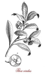 Vintage botanical engraving of Camellia sinensis small tree native of East Asia,the leaves are used to produce tea, different leaves age produces differing tea qualities