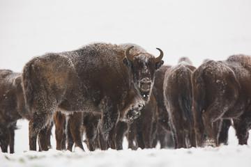 Fotorolgordijn Bison European bison - Bison bonasus in the Knyszyn Forest (Poland)