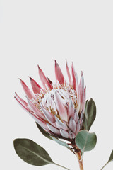 pink king protea flower against a light gray background, decorative plant close up with copyspace for text