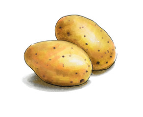 Colorful and juicy potato illustration. Drawing alcohol markers useful vegetable. Veggie food.