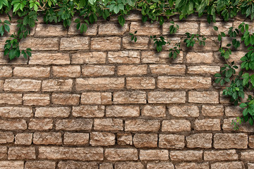 climbing plant on the old brick wall