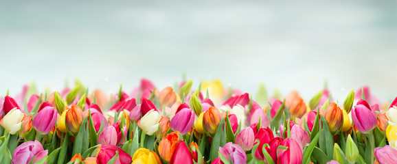 tulips in garden on blue sky background wide banner with copy space