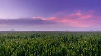 Between the sunset and the blue hour over a Rye field in the Orne countryside on a light foggy evening, Normandy France