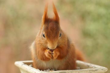 Eichhörnchen plündert Vogelfutterstelle