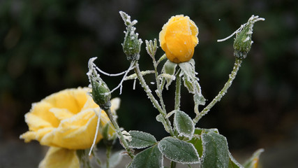 Rosenblüte im Winterfrost