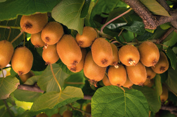 Frash kiwi (Actinidia chinensis) on a tree with branches and leaves. Healthy kiwi fruit grows on a tree on a farm.