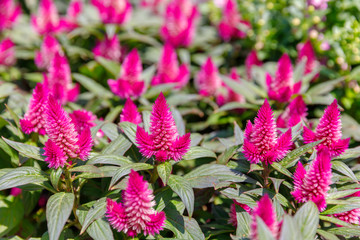 Close up of group a pink celosia flowers