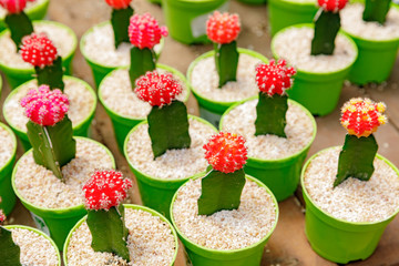 Big group of a blooming decorative cactuses with red head