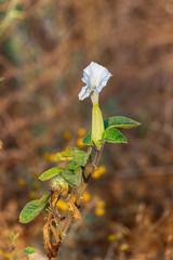 First  flower on datura