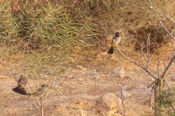 Three white-spectacled bulbuls in desert