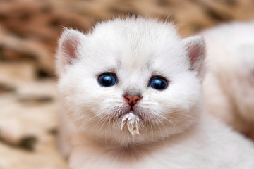 Portrait of a little white kitten who drank milk and stained the muzzle. The head of a cute kitten with blue eyes stained with milk while eating.