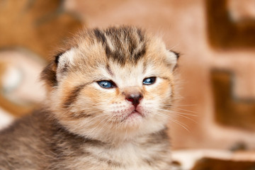 Head of a little Golden kitten close-up. Portrait of a cute whiskered kitten with small ears.