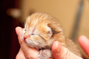 The head of a small newborn Golden kitten with eyes that have not yet opened after birth and a pink nose lies in the hand of the owner, a photo of a newborn kitten close-up.