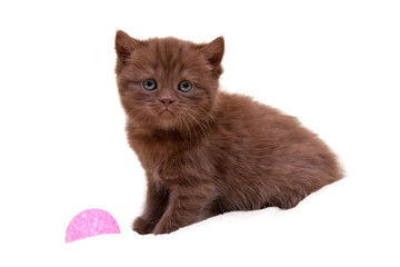 Little charming chocolate British kitten sitting on a white background isolated next to a pink ball and looks into the camera