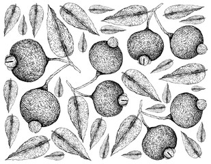 Berry Fruit, Illustration Wallpaper of Hand Drawn Sketch of Fresh Guabiju or Myrcianthes Pungens Fruits Isolated on White Background.