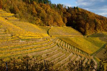 Weinberge oberhalb von Ortenberg im Kinzigtal