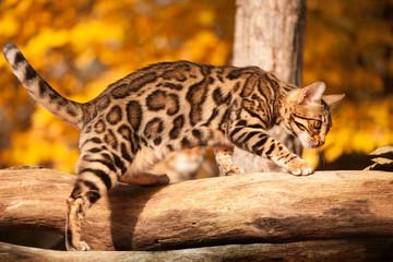 Bengal Kitten in Autumn Sunlight