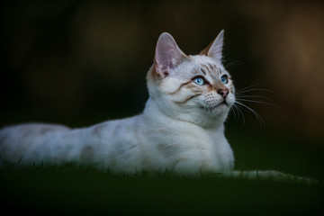 White Bengal in Grass