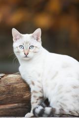 Bengal Cat posing Outdoor