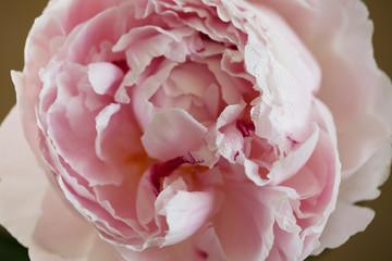 Peony pink flower close up macro background photo