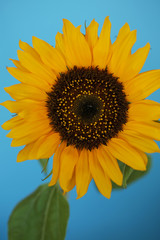 Beautiful sunflower close up macro photo on colored background