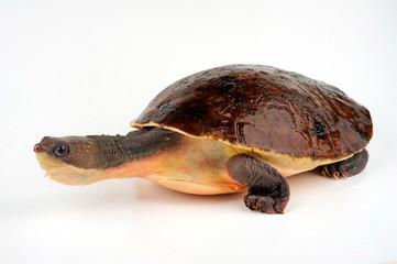 Neuguinea Schlangenhalsschildkröte (Elseya novaeguineae) - New Guinea snapping turtle