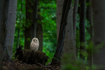 The Ural owl (Strix uralensis).