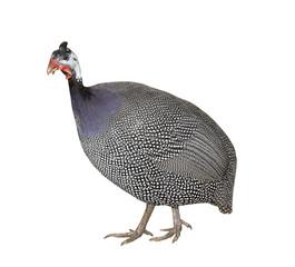 Hen Turkey Bird poultry broiler farming Animal