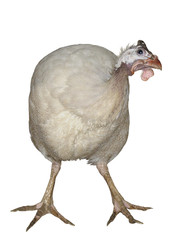 Hen Turkey Bird poultry broiler farming Animal